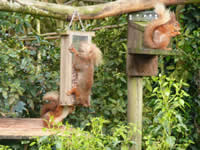 Squirrel feeding at Clachan Cottage, Anwoth, Dumfries & Galloway