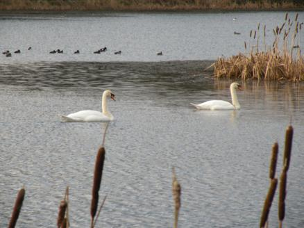 swans on Woodend Loch
